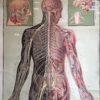 Affiche d'anatomie allemande